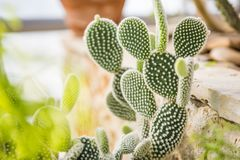 Opuntia Microdasys Photographie stock