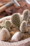 Opuntia Microdasys Images stock