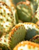 Opuntia Microdasys do cacto de pera espinhosa imagens de stock royalty free