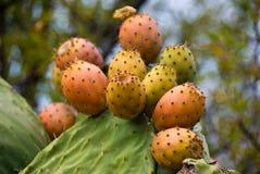 OPUNTIA MICRODASYS no La Palma imagens de stock