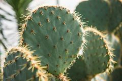 Opuntia orbiculata. May reach 3-ft tall, but exceptional plants may be twice as tall. It is often noticeably wider than tall for a large plant. The cladodes are Stock Photos