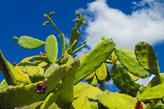 Opuntia plant Stock Images