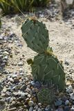 Opuntia Prickly pear cactus Royalty Free Stock Photos