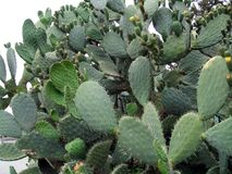 Opuntia. prickly pear. cactus fruit. tropical fruit Stock Photo