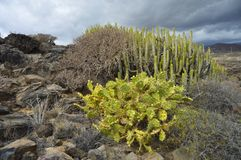 Volcanic landscape with cactus plants Tenerife Canary Islands stock photo