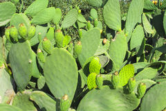 Opuntia prickly pear plant Royalty Free Stock Images