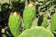 Opuntia Prickly pear plant Stock Images