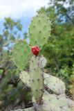 Opuntia with ripe fruits Stock Image