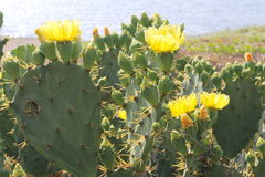 Opuntia Robusta Royalty Free Stock Photo