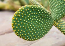 Opuntia rufida cactaceae. On scree at greenhouse Stock Photo