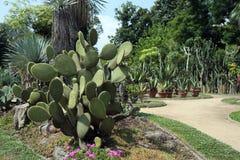 Opuntia scheerii Stock Image