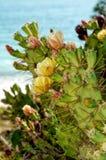 Opuntia som fikus-är indica vid havet Arkivfoton