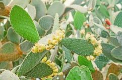 Opuntia verde ficus-indica, cactus Sepa como Opuntia del higo indio fotografía de archivo libre de regalías