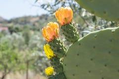 Opuntiaindier med frukter och blommor solig dag Arkivbild