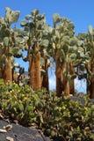Opuntias en jardín botánico en la isla de Fuerteventura Fotos de archivo