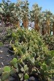 Opuntias en jardín botánico en la isla de Fuerteventura Fotografía de archivo