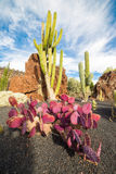 Opuntie Macrocentra in Jardin de Cactus, Lanzarote, zitronengelbes Isla Lizenzfreies Stockfoto
