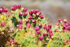 Opuntiekaktusanlage mit reifen roten Früchten stockfoto