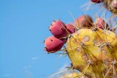 Opuntiekaktusanlage mit reifen roten Früchten stockbild