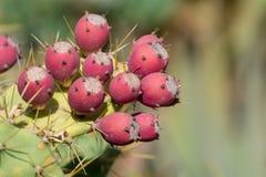 Opuntiekaktusanlage mit reifen roten Früchten stockbilder