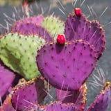 Opunzia Macrocentra del giardino del cactus di Lanzarote Guatiza Immagine Stock
