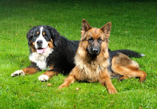 Opus und Reese !. Our dog Reese friendly with neighbors dog Opus royalty free stock photo