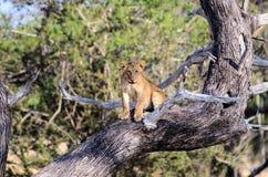 Opustoszały lwa lisiątka obsiadanie w drzewie Zdjęcie Stock