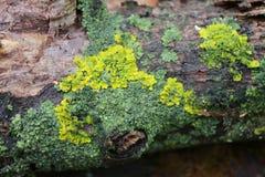 Opustoszały ogród Drzewo zakrywający z zielonym mech struktura Natura Niezwykły drzewo Barkentyna drzewo uszkadza mech Li Obrazy Royalty Free