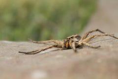 opuszczać pająka Zdjęcia Royalty Free