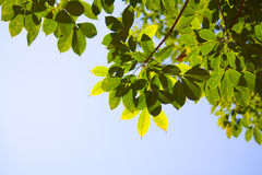 opuszczać Para gumy lato półprzezroczystego drzewa Zdjęcie Royalty Free