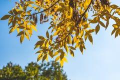 opuszczać pomarańczowego kolor żółty jesienią zbliżenie kolor tła ivy pomarańczową czerwień liści Spadku tło Zdjęcie Royalty Free