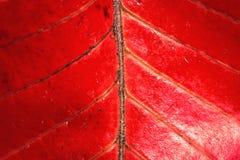 opuszczać czerwoną teksturę Obraz Royalty Free