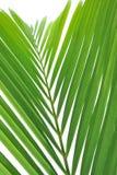 opuszczać drzewka palmowego Fotografia Royalty Free