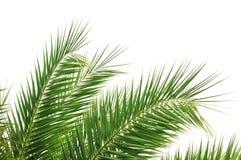 opuszczać drzewka palmowego obraz royalty free
