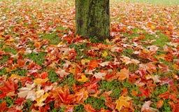 opuszczać klonowego drzewa Fotografia Royalty Free