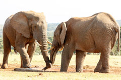 Opuszcza mój wodę - afrykanina Bush słoń Zdjęcie Royalty Free