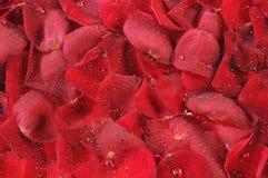 opuszcza płatek róże Zdjęcie Royalty Free