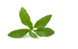 opuszczać stevia Fotografia Royalty Free