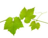 opuszczać winogradu Zdjęcie Stock