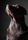 Opvallende Chocolade Labrador dat omhoog eruit ziet Royalty-vrije Stock Foto's