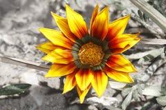 Opvallende heldere gele bloem Stock Afbeeldingen