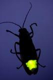 Opvlammende Glimworm - het Insect van de Bliksem Royalty-vrije Stock Afbeelding