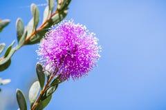 Opzichtige honing-mirte Melaleuca-nesophilabloem stock afbeeldingen