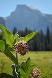 Opzichtige Milkweed Royalty-vrije Stock Fotografie