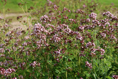 Orégano: especia e hierba Imagen de archivo