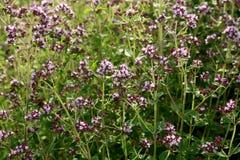 Orégano: especia e hierba Fotografía de archivo libre de regalías