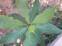 Orégano. Small oregano arbol meknes Royalty Free Stock Photos