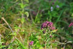 Oréganos de florescência que crescem na pastagem seca fotografia de stock