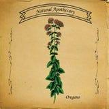 Oréganos naturais do farmacêutico Foto de Stock Royalty Free