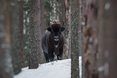 Orörlig stor lös brun Bison Wisent In Winter Forest europeisk Aurochsbison, Bison Bonasus Standing Among The träd B Arkivfoto